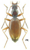 Anophthalmus schmidtii insignis J. Muller, 1912: 299