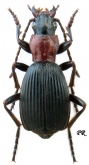 Aptinus (Aptinidius) displosor (L. Dufour, 1811)