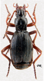 Aptinus (Aptinus) acutangulus Chaudoir, 1876