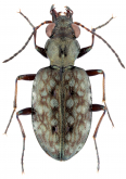 Asaphidion championi Andrewes, 1924