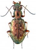 Asaphidion cupreum Andrewes, 1925: 51