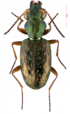 Asaphidion substriatum Andrewes, 1925a: 56
