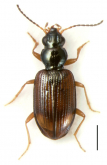 Bembidion (Antiperyphanes) spinolai Solier, 1849