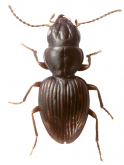 Bembidion (Endosomatium) megalops (Wollaston, 1877)