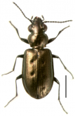 Bembidion (Notholopha) sexfoveatum Germain, 1906