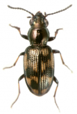 Bembidion (Nothonepha) eburneonigrum Germain, 1906