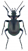 Calosoma (Calosoma) inquisitor inquisitor Linne, 1758: 414