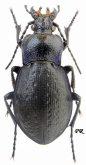 Carabus (Archicarabus) victor victor Fischer, 1836