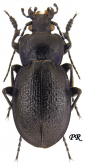 Carabus (Archicarabus) victor wiedemanni Menetries, 1836