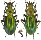 Carabus (Chrysocarabus) auronitens farinesi Dejean, 1826	(as barthei Lapouge, 1912)