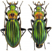 Carabus (Chrysocarabus) lineatus lateralis Chevrolat, 1840 (as quasilineatus Tarrier, 1975)
