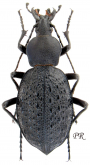 Carabus (Coptolabrus) gemmifer gemmifer (as loczyi Csiki, 1927)