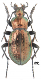Carabus (Eucarabus) obsoletus nagyagensis (as fossulifer Fleischer, 1893)