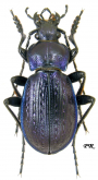 Carabus (Eucarabus) obsoletus obsoletus Sturm, 1815 (as prunneri Mallasz, 1901)