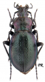 Carabus (Eucarabus) obsoletus obsoletus (as csikii Mallasz, 1901)