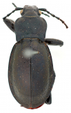 Carabus (Eucarabus) obsoletus obsoletus var sacheri Thomson, 1875