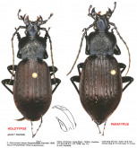 Carabus (Isiocarabus) hunanicola liangshanicus (as dreuxi liangshanicus) HT PT Kleinfeld, 1998