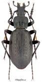 Carabus (Macrothorax) planatus Chaudoir, 1843