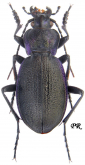 Carabus (Mesocarabus) problematicus harcyniae (as procedens Csiki, 1927)