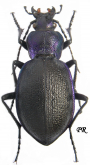 Carabus (Mesocarabus) problematicus ?harcyniae (as procedens Csiki, 1927)