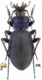 Carabus (Mesocarabus) problematicus harcyniae (as belgicus Lapouge, 1913)