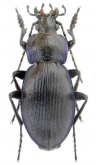 Carabus (Morphocarabus) excellens ciscarpathicusn (as rareulensis Born, 1907)