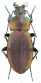 Carabus (Morphocarabus) excellens ciscarpathicus (as polonicus Lomnicki, 1886)