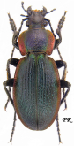 Carabus (Morphocarabus) excellens excellens ( as jasilkowskii Born,1905)