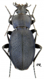 Carabus (Morphocarabus) excellens excellens (as moldaviensis Born, 1903)
