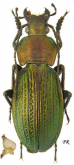 Carabus (Morphocarabus) monilis Fabricius, 1792 (as interpositus Géhin, 1880)