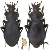 Carabus (Morphocarabus) rothi hampei Kuster, 1846 (transition to rothi incompsus Kraatz, 1880)