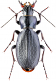 Carabus (Neoplectes) edithae Reitter, 1893