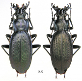 Carabus (Neoplectes) polychrous polychrous Rost, 1892