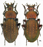 Carabus (Tachypus) cancellatus s.str. (as sulinensis Born, 1902)