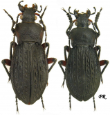 Carabus (Tachypus) cancellatus s.str. (as conspersus Lapouge, 1902)