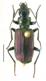 Catascopus (Catascopus) vitalisi Dupuis, 1914