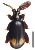Cerapterus latipes Swederus, 1788: 203