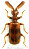 Ceratoderus Westwood, 1841a