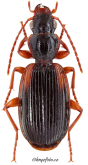 Cymindis (Cymindis) humeralis (Geoffroy in Fourcroy, 1785)