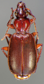 Cymindis (Pinacodera) sulcipennis G.Horn, 1881