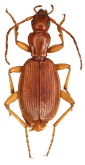 Dicrodontus aptinoides (Wollaston, 1865)