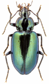 Dyscolus (Dyscolidion) sp.