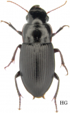 Harpalus (Harpalus) laticeps Leconte, 1850