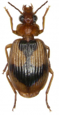 Lebia (Lebia) darlingtoniana Baehr, 2004 Paratype