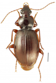 Mecyclothorax altiusculoides Perrault, 1987