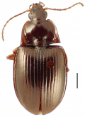 Mecyclothorax brevipennis Perrault, 1984