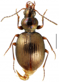 Mecyclothorax cupreoides Perrault, 1978