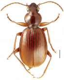 Mecyclothorax fosbergioides Perrault, 1988