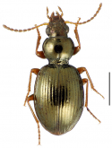 Mecyclothorax laevilateralis Perrault, 1989