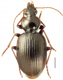 Mecyclothorax paraltiusculus Perrault, 1988